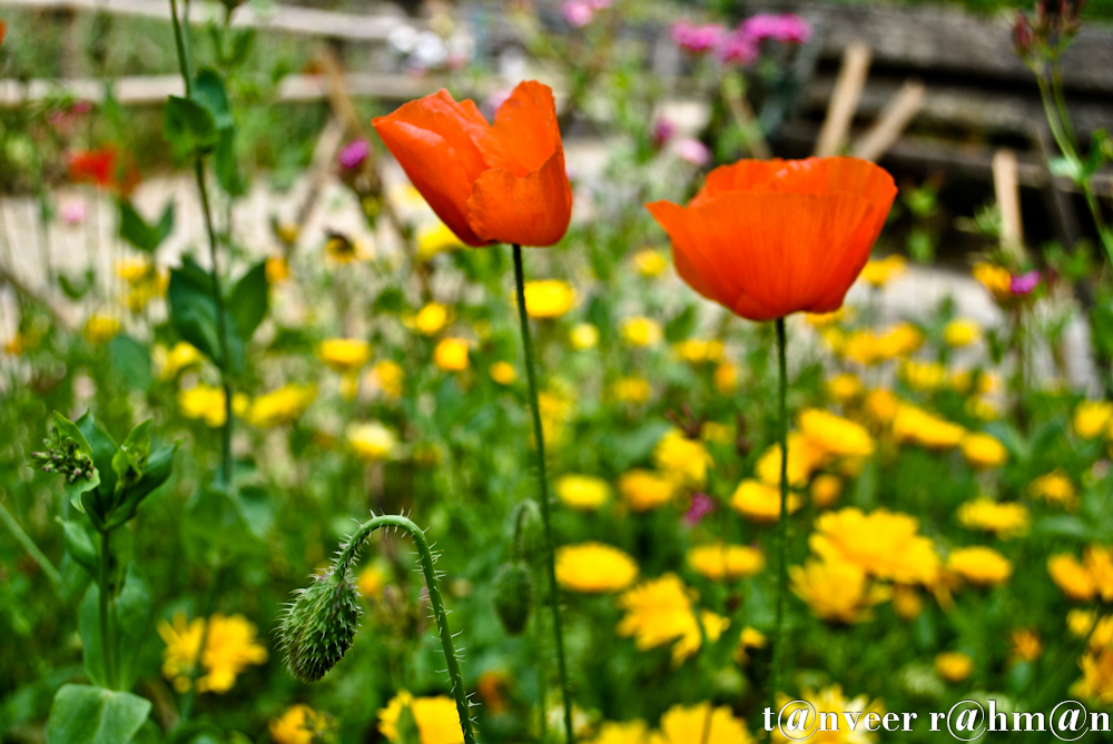 #Oriental poppy – Seasonal Beautiful Flowers of Darjeeling