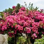 Bouganvillea - Seasonal Beautiful Flowers of Darjeeling