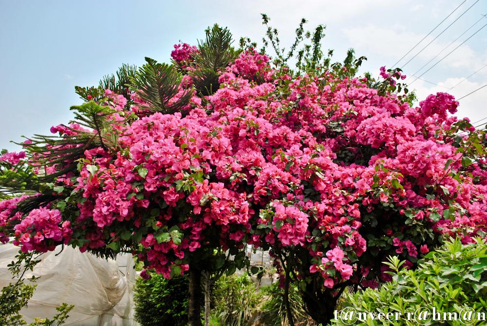 #Bouganvillea – Seasonal Beautiful Flowers of Darjeeling