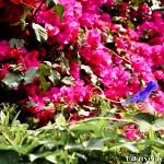 Pink bouganvillea (background) & a purple morning glory - Seasonal Beautiful Flowers of Darjeeling