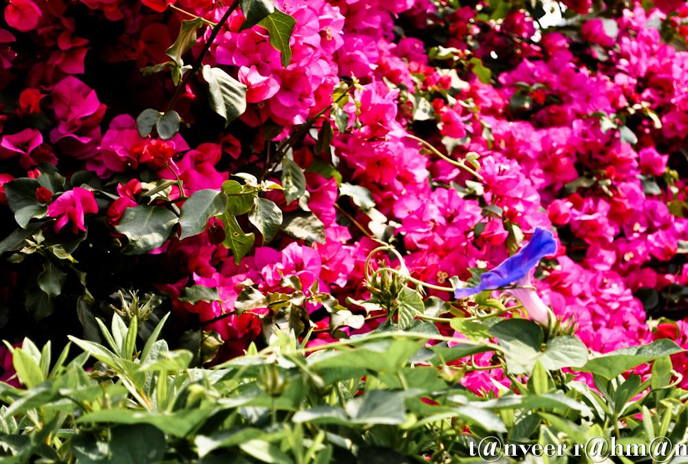 #Pink bouganvillea (background) & a purple morning glory – Seasonal Beautiful Flowers of Darjeeling