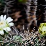 Cactus in bloom - Seasonal Beautiful Flowers of Darjeeling
