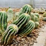 Cactus - Seasonal Beautiful Flowers of Darjeeling