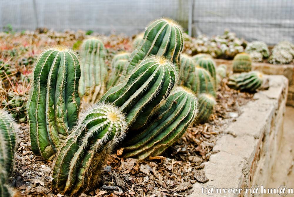 #Cactus – Seasonal Beautiful Flowers of Darjeeling