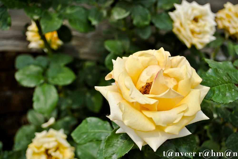 #Yellow Rose – Seasonal Beautiful Flowers of Darjeeling