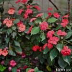 Impatiens - Seasonal Beautiful Flowers of Darjeeling
