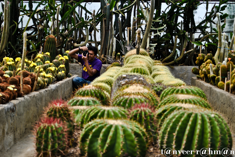 #Cactus in bloom – Seasonal Beautiful Flowers of Darjeeling