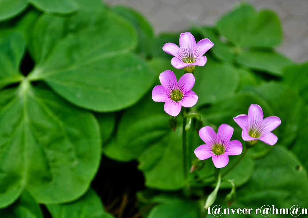 #Oxalis – Seasonal Beautiful Flowers of Darjeeling