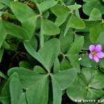 Oxalis - Seasonal Beautiful Flowers of Darjeeling