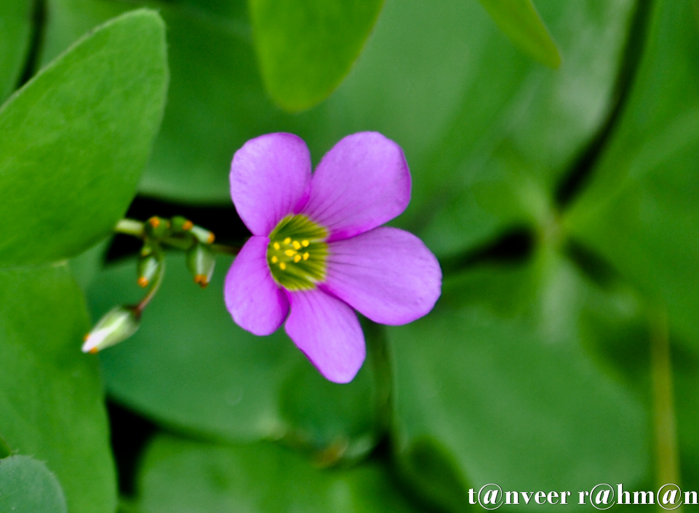 #Oxalis – Seasonal Beautiful Flowers of Darjeeling