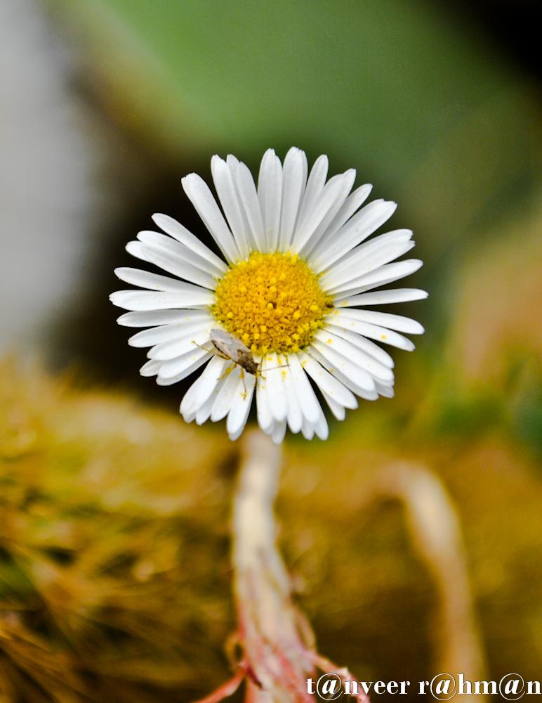 #Daisy – Seasonal Beautiful Flowers of Darjeeling