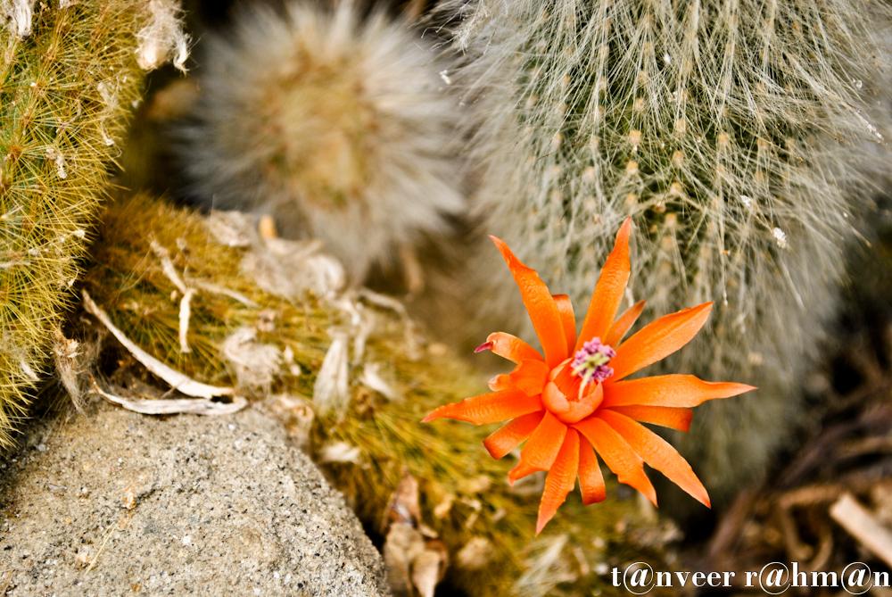 #Cactus in bloom – Seasonal Beautiful Flowers of Darjeeling
