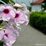 Beautyful Flower - Seasonal Beautiful Flowers of Darjeeling