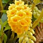 Sonalu - Seasonal Beautiful Flowers of Darjeeling