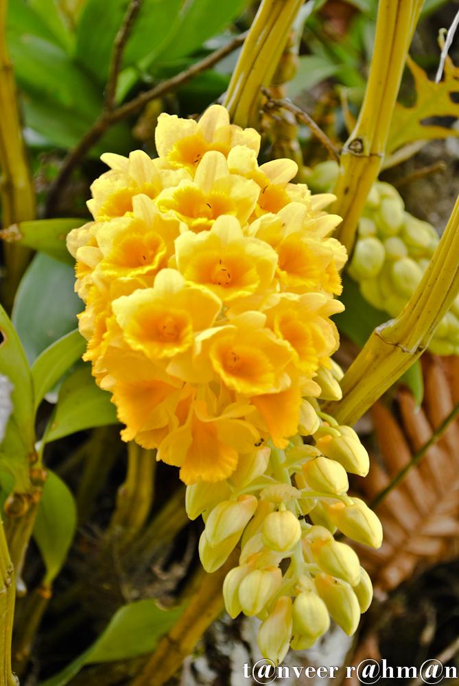 #Sonalu – Seasonal Beautiful Flowers of Darjeeling