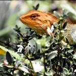 Chameleon lizard sitting on white azalea bush - Seasonal Beautiful Flowers of Darjeeling