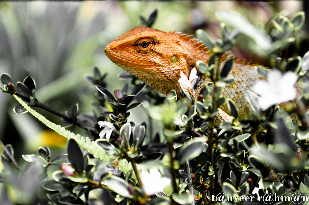 #Chameleon lizard sitting on white azalea bush – Seasonal Beautiful Flowers of Darjeeling