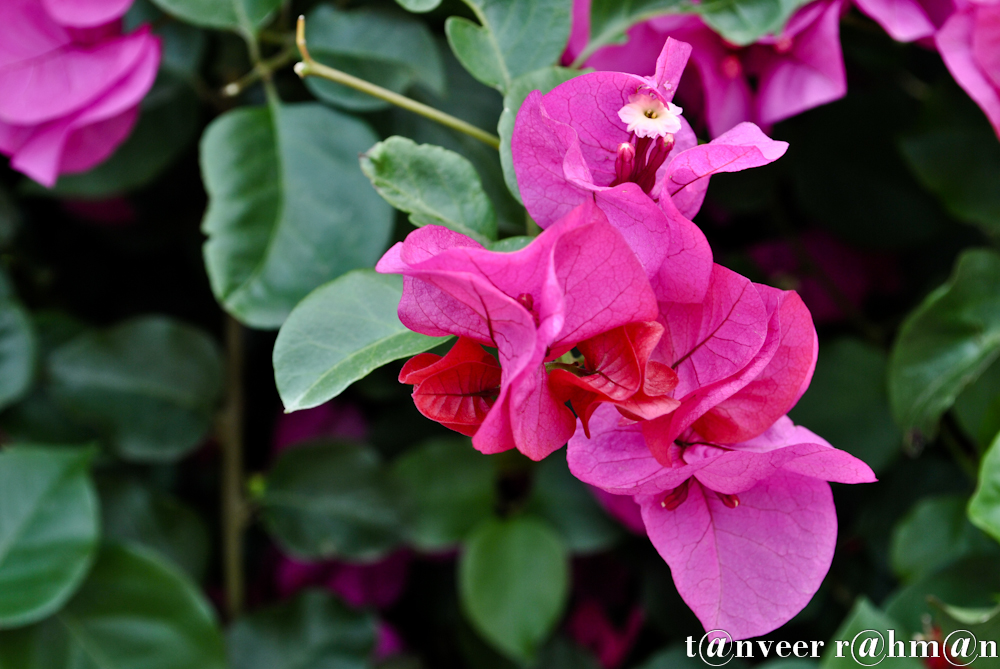 #Bouganvillea – Seasonal Beautiful Flowers of Darjeeling