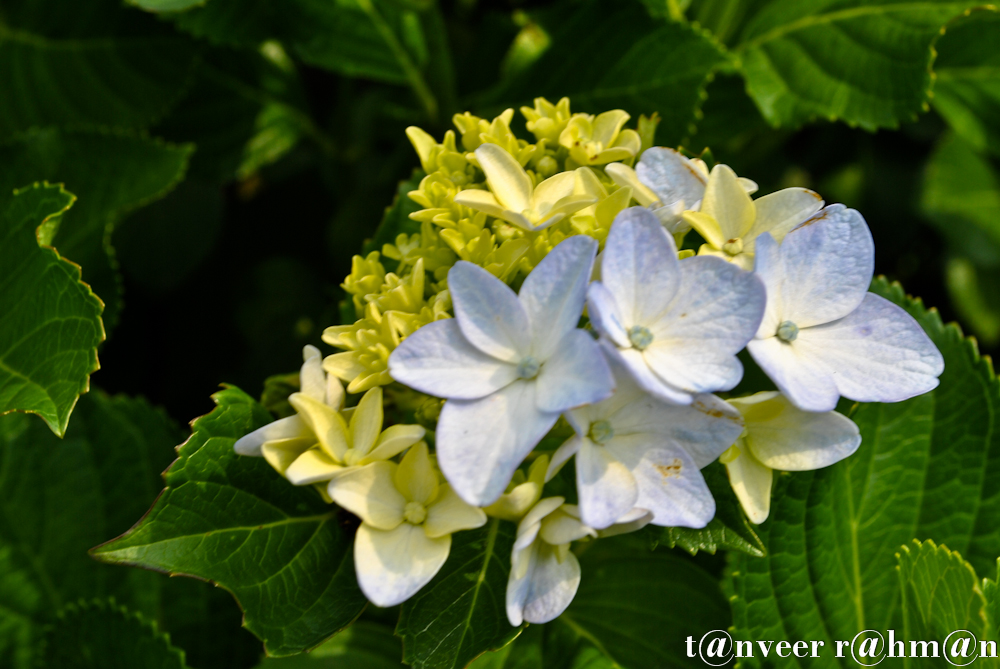 #Hydrangeas – Seasonal Beautiful Flowers of Darjeeling