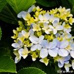Hydrangeas - Seasonal Beautiful Flowers of Darjeeling