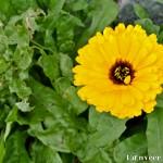 Gerber daisy - Seasonal Beautiful Flowers of Darjeeling