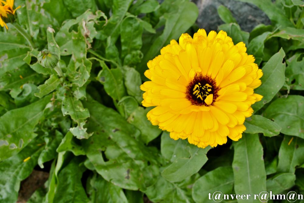 #Gerber daisy – Seasonal Beautiful Flowers of Darjeeling