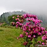 Crimson azaleas - Seasonal Beautiful Flowers of Darjeeling
