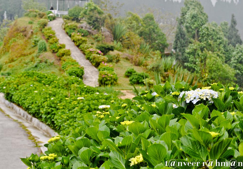 #Hydrangeas – Seasonal Beautiful Flowers of Darjeeling