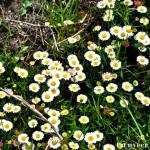 Daisies - Seasonal Beautiful Flowers of Darjeeling