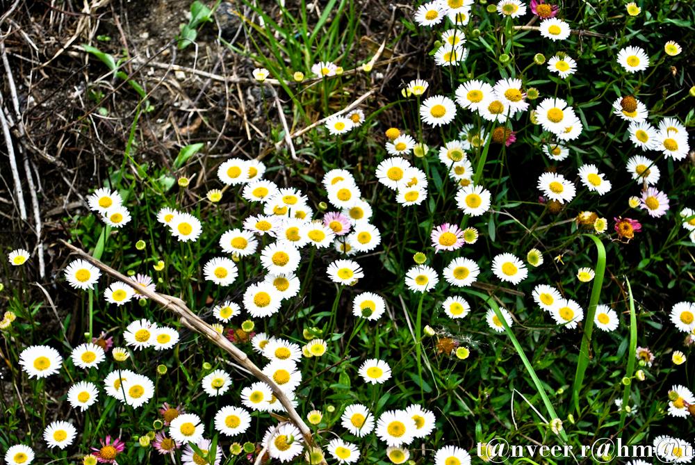 #Daisies – Seasonal Beautiful Flowers of Darjeeling