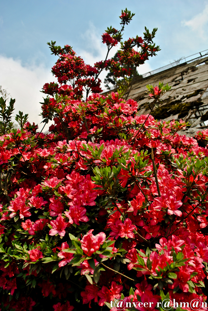 #Red Azaleas – Seasonal Beautiful Flowers of Darjeeling