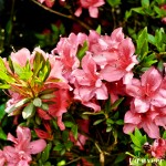 Pink Azaleas - Seasonal Beautiful Flowers of Darjeeling