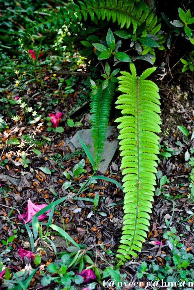 #Ferns growing in the shade of azalea bush – Seasonal Beautiful Flowers of Darjeeling