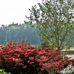 Red Azaleas - Seasonal Beautiful Flowers of Darjeeling