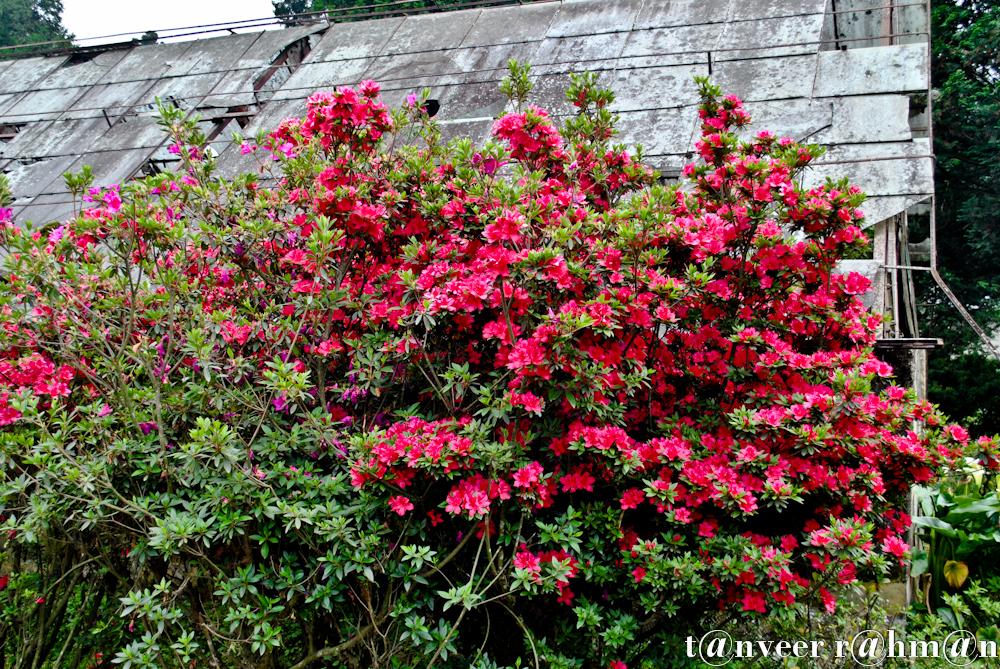 #Crimson azaleas – Seasonal Beautiful Flowers of Darjeeling