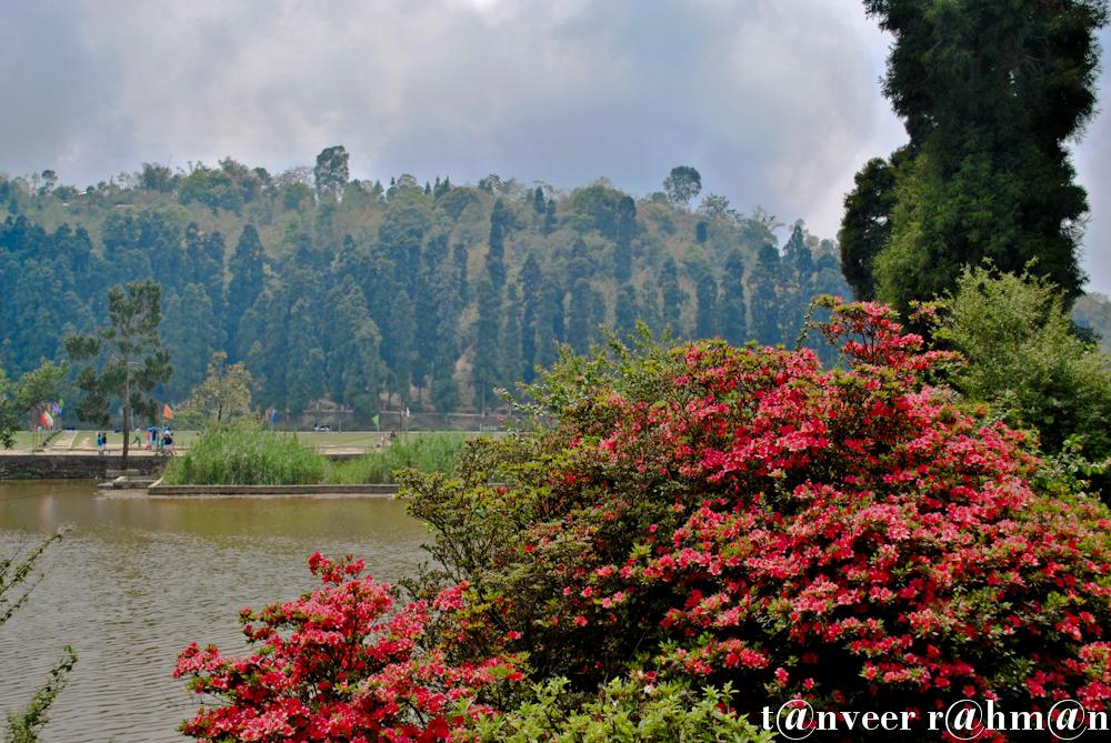 #Red Azaleas – Seasonal Beautiful Flowers of Darjeeling