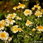 Marigolds - Seasonal Beautiful Flowers of Darjeeling