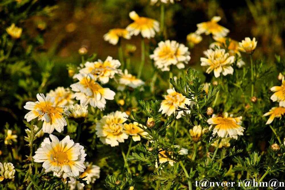 #Marigolds – Seasonal Beautiful Flowers of Darjeeling