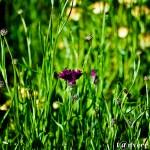 Purple cornflower - Seasonal Beautiful Flowers of Darjeeling