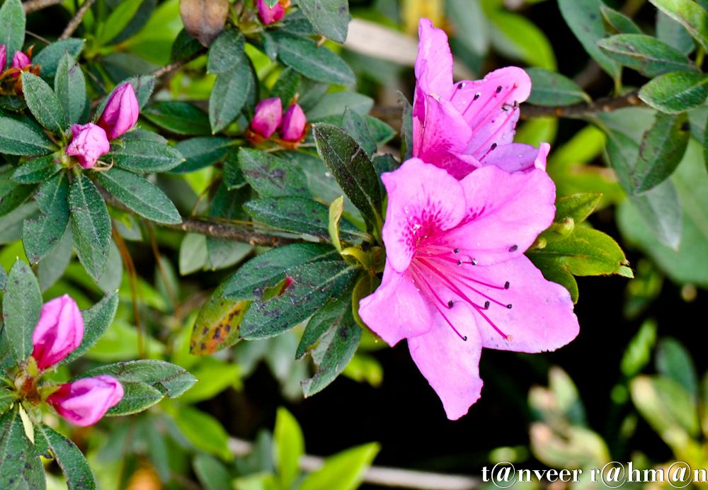 #Pink Azaleas – Seasonal Beautiful Flowers of Darjeeling