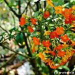 Unknown Flower - Seasonal Beautiful Flowers of Darjeeling