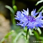 Classic Cornflower Blue - Seasonal Beautiful Flowers of Darjeeling