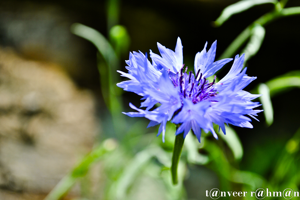 #Classic Cornflower Blue – Seasonal Beautiful Flowers of Darjeeling