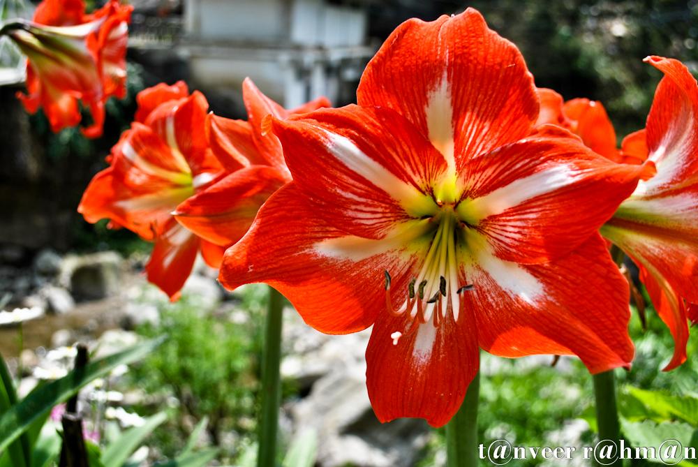 #Amaryllis – Seasonal Beautiful Flowers of Darjeeling