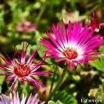 Shasta daisy - Seasonal Beautiful Flowers of Darjeeling