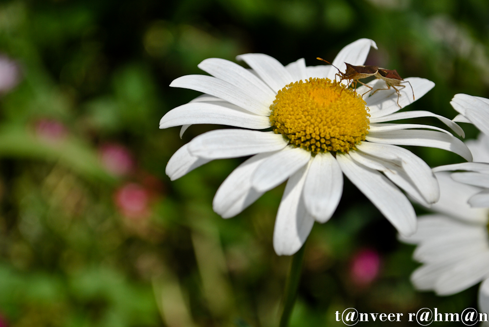 #Daisy – Seasonal Beautiful Flowers of Darjeeling