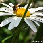 Daisy - Seasonal Beautiful Flowers of Darjeeling