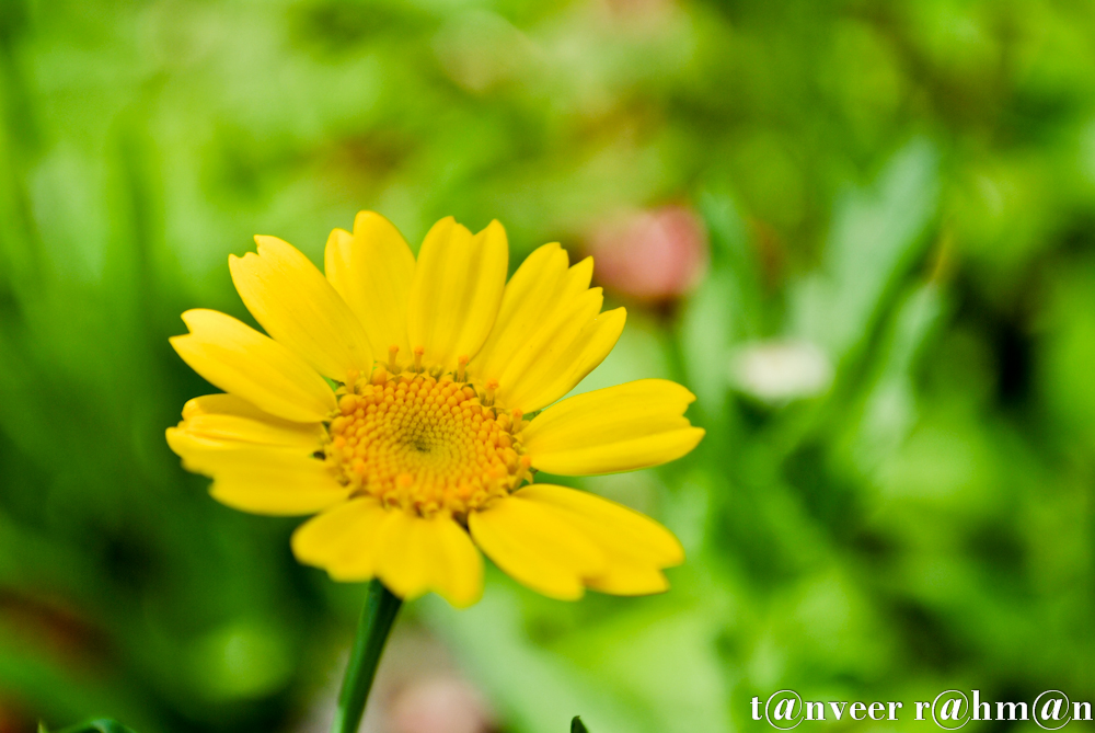 #Yellow Daisy – Seasonal Beautiful Flowers of Darjeeling