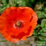 Oriental poppy - Seasonal Beautiful Flowers of Darjeeling