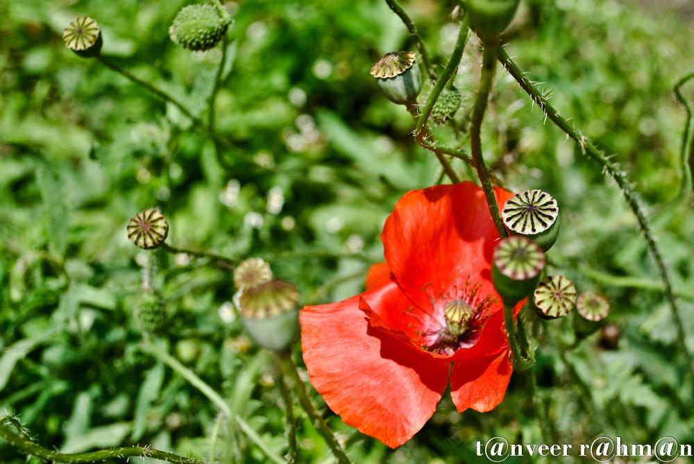 #Oriental poppy – Seasonal Beautiful Flowers of Darjeeling